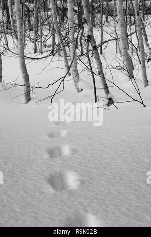 Animal Tracks in the snow, disappearing into a cluster of silver birch trees in Hokkaido, Japan. - Stock Photo