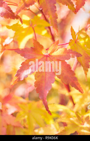 Bright colored autumn acer leaves on a tree in Japan - Stock Photo