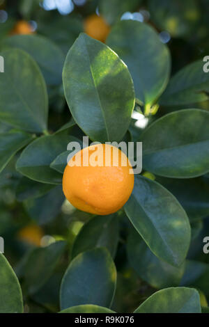 Orange Chinese kumquat growing on a tree - Stock Photo