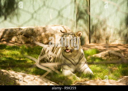 Close-up view of beautiful white bengal tiger at zoo. Animals in captivity - Stock Photo