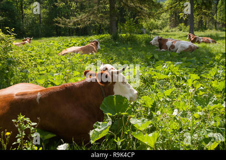 Rottach-Egern, Bavaria, Germany, Europe - Cows are grazing on a meadow near the Bavarian town of Rottach-Egern near Tegernsee. - Stock Photo