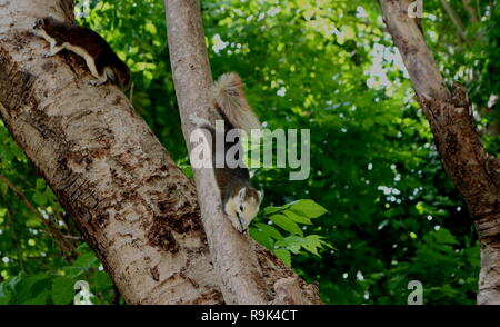 two squirrels climbing on a green tree in the opposite direction - Stock Photo