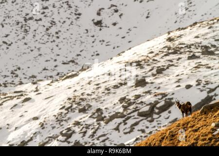 Chamois, Rupicapra rupicapra, on the rocky hill with montain covered by snow, mountain in Gran Paradiso, Italy. Autumn in the mountains. Mammal, herbi - Stock Photo