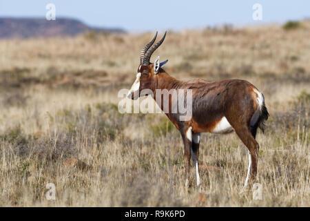 Blesbok (Damaliscus pygargus phillipsi), adult, standing in open grassland, alert, Mountain Zebra National Park, Eastern Cape, South Africa, Africa - Stock Photo
