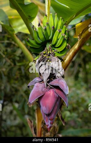 Banana Bunch Banana Tree Fruit Brazil Stock Photo 276538197 Alamy