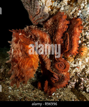 Giant Pacific Octopus, Enteroctopus dofleini - Stock Photo