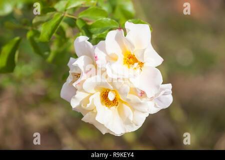 Beautiful White Wild Rose (Rosa canina) - Rosa arvensis, the field rose - Stock Photo