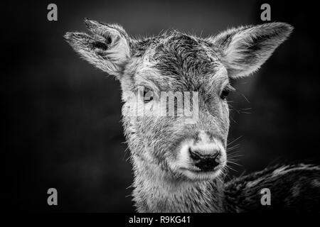 Fallow deer (Damwild / Dama dama) in the winter - black white photography - Stock Photo
