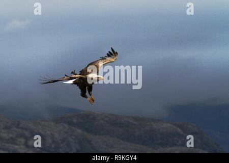 White-tailed eagle in flight before catching fish,Norway,Haliaeetus albicilla, majestic sea eagle with big claws with fjord and clouds in background,  - Stock Photo