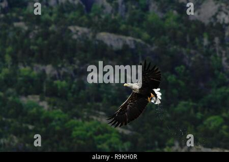 White-tailed eagle in flight after catching fish,Norway,Haliaeetus albicilla, majestic sea eagle with big claws with rocks and trees in background, wi - Stock Photo
