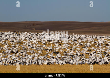 Thousands of snow geese — Anser caerulescens — gather on a golden wheat  field under blue skies on a sunny fall day in southern Saskatchewan, Canada - Stock Photo