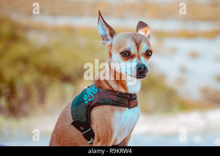 Chihuahua dog with blured background - Stock Photo