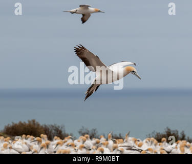 An Australasian Gannet (Morus serrator) looking for somewhere to land in the nesting colony at Cape Kidnappers, New Zealand - Stock Photo