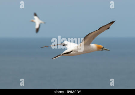 A pair of Australasian Gannets (Morus serrator) flying over the nesting colony at Cape Kidnappers, New Zealand - Stock Photo