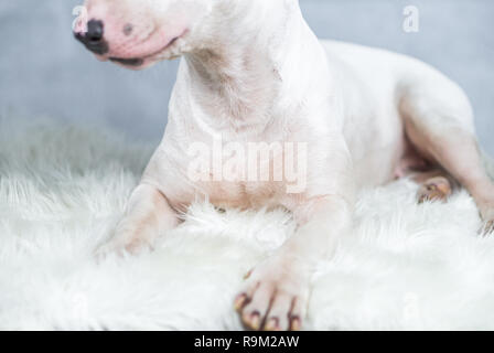 Portrait photo of Bull terrier dog with empty blue space - Stock Photo