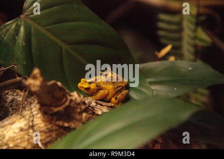 Panamanian Golden Frog Atelopus zeteki is rare and endemic to Panama. - Stock Photo
