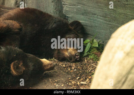 Two American black bear Ursus americanus sleeping together in the middle of the day in Southern Florida. - Stock Photo