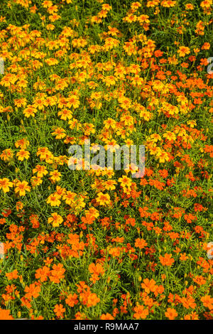 Image of French Marigold ( Tagetes patula ) in the summer garden