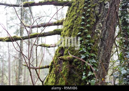 Ivy growing up a mossy tree trunk in Eugene, Oregon, USA. - Stock Photo