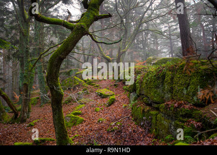 mystical forest in the Vosges mountains on a foggy winter day - Stock Photo