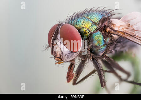 Goldfliege, Lucilia sericata, Green Bottle Fly - Detailed Microscope Stack Extrem - Stock Photo