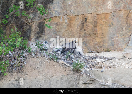 Wanderfalke Brut in Steilwand, Falco peregrinus, Peregrine falcon nesting in headwall - Stock Photo