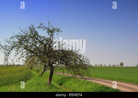 Apple trees on a dirt road - Stock Photo