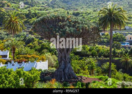 Dragon Tree, Dracena Drago in Icod de los Vinos, Tenerife, Canary Islands, Spain - Stock Photo
