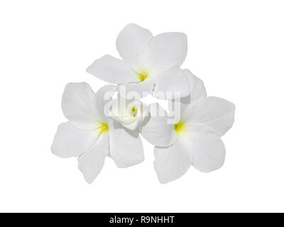Bunch of frangipani fragrant flowers isolated on white. Plumeria blossom. - Stock Photo