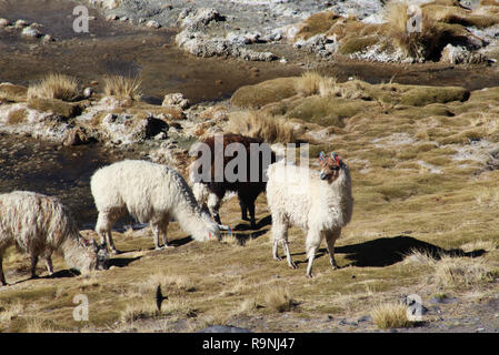 Herd of brown and white llamas shot from above, grass background, Laguna colorada, Andes Mountains, Bolivia - Stock Photo