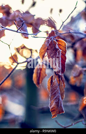 Frozen dry leaves covered with frost on tree - Stock Photo