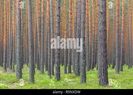 Scots Pine (Pinus sylvestris) tree trunks in coniferous forest - Stock Photo