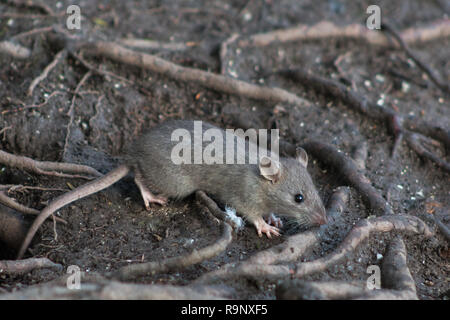 Wild Brown Rat in the undergrowth of a woodland looking for food. - Stock Photo