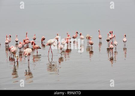 Phoenicopterus Roseus Greater Flamingo Phoeniconaias Minor Lesser Flamingo in Walvis Bay, Namibia Africa - Stock Photo
