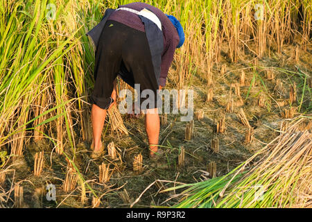 Harvest season. A woman farmer harvesting ripe rice by hand, sickle on yellow rice field. woman farmer with traditional conical hat working - Stock Photo