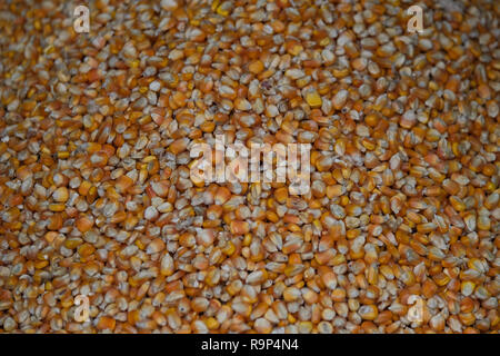 Corn bean seed.  heap of yellow corn beans seed, corn background with copy space. Yellow corn beans is very nutritious - Stock Photo