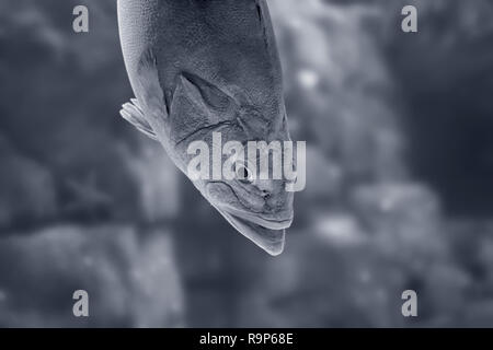 Big ocean white grouper. Converted black and white. Toned blue. - Stock Photo