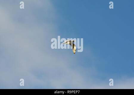 European Herring Gull flying above some field near the village Günz in Mecklenburg-Vorpommern near the coast of the Baltic Sea in Northeastern Germany - Stock Photo