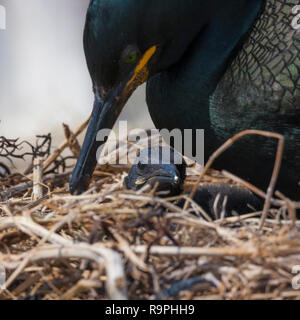 European Shag (Phalacrocorax aristotelis), adult attending its chick in the nest - Stock Photo