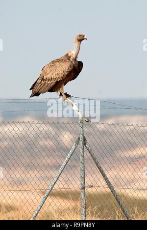 Griffon Vulture, Gyps fulvus, bird of prey standing on a fence - Stock Photo