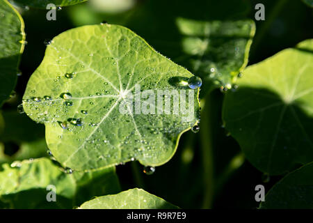 Round leaf of a plant with large drops of dew on a blurred green background close-up - Stock Photo