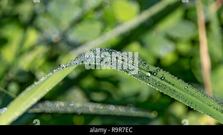 Leaf of grass with large drops of dew on a blurred green background close-up - Stock Photo