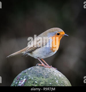 European robin perched on a fence post - Stock Photo