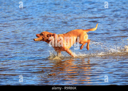An enthusiastic golden retriever labrador runs through water carrying a stick at Frensham Little Pond, near Farnham, Surrey, south-east England - Stock Photo