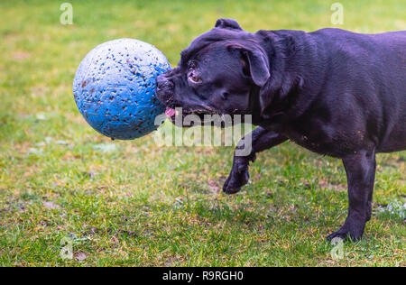 Staffordshire bull terrier dog running and playing on muddy grass with a large blue ball in his mouth - Stock Photo