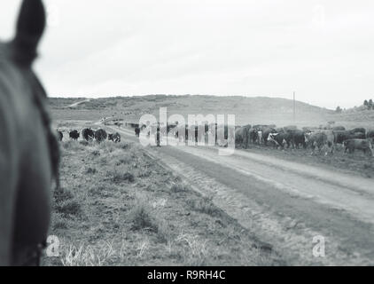 Herd of cattle walking along a dirt road in the country. - Stock Photo