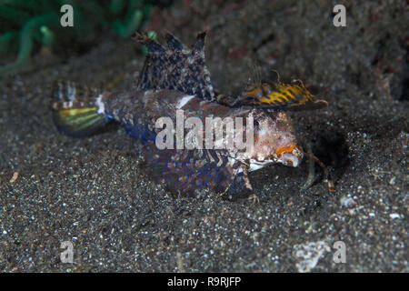 Fingered dragonet (dactylopus dactylopus) feeding on the sea floor in Lembeh Straits, Indonesia. - Stock Photo