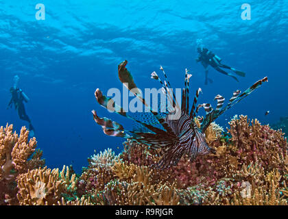 Close focus wide-angle image of lionfish on coral reef with scuba divers in blue water background. Spratly Islands, South China Sea. - Stock Photo