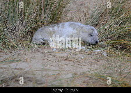Horsey Beach, Norfolk, UK. 26th Dec, 2018. A very young grey seal pup sleeping on Horsey Beach, Norfolk UK on Boxing Day 2018. Every winter, grey seals come to Horsey to give birth to their young. They are born with white fur, which then falls off after they have been weaned. Credit: Steve Nichols/Alamy Live News - Stock Photo
