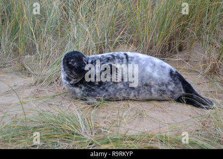 Horsey Beach, Norfolk, UK. 26th Dec, 2018. A young grey seal pup on Horsey Beach, Norfolk, UK on Boxing Day 2018. Every winter a colony of grey seals comes ashore to give birth at Horsey on the Norfolk Coast. When this photographs was taken there were more than 1,000. Credit: Steve Nichols/Alamy Live News - Stock Photo
